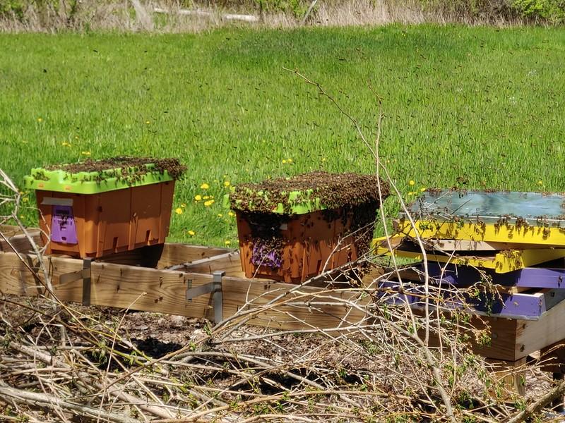 2 Honeybee Nucs