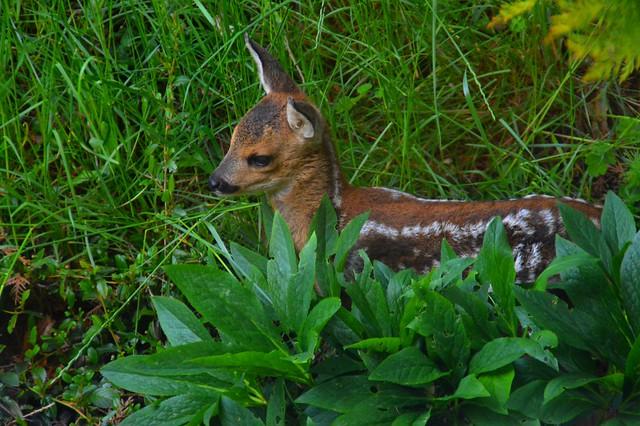 DSC_0081 Bambi im Garten
