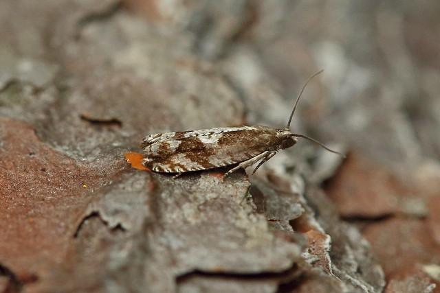 49.222 Rhopobota ustomaculana, Loch Rannoch, Perthshire