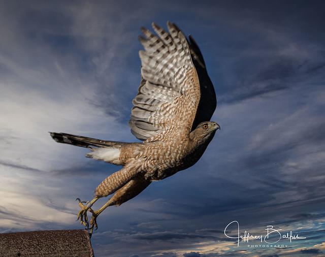 Cooper's Hawk  Taking Off