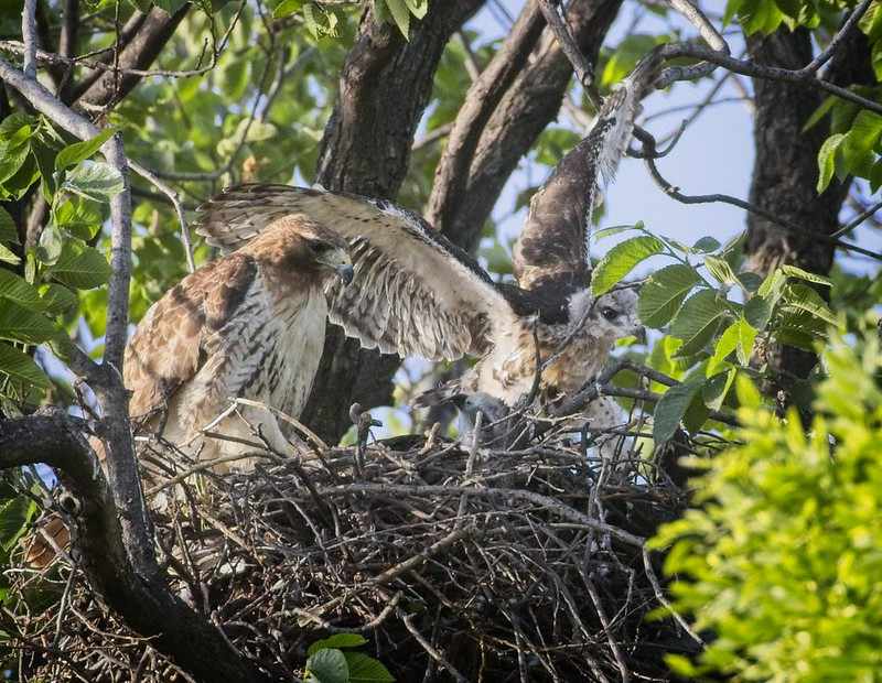 Tompkins Square red-tail nestling