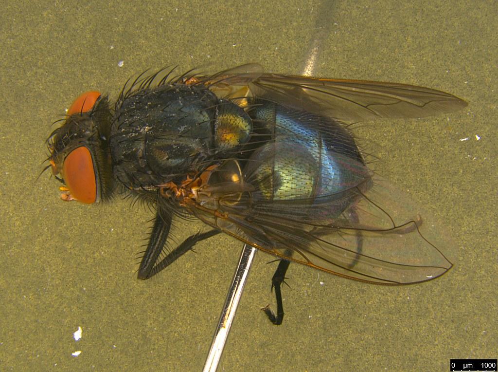 7a - Tachinidae sp.