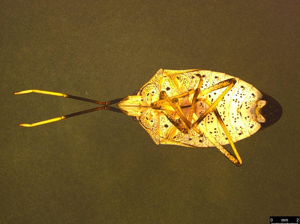 9b - Poecilometis strigatus (Westwood, 1837)
