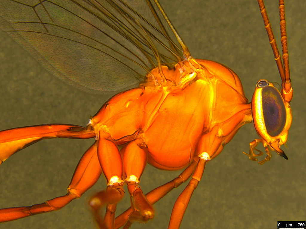 10c - Ichneumonidae sp.