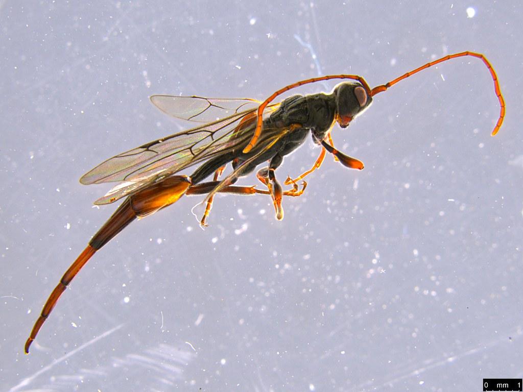 14a - Monomachus antipodalis Westwood, 1874