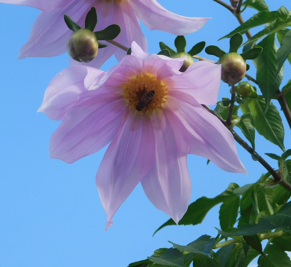 Bell Tree Dahlia