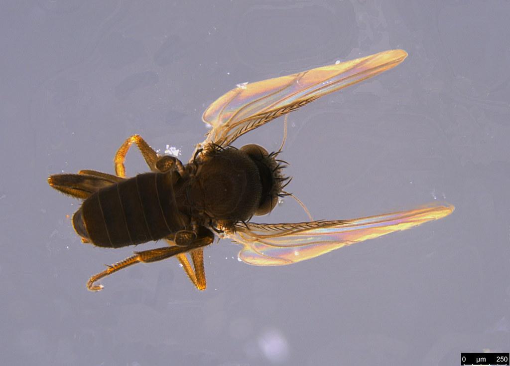5b - Phoridae sp.