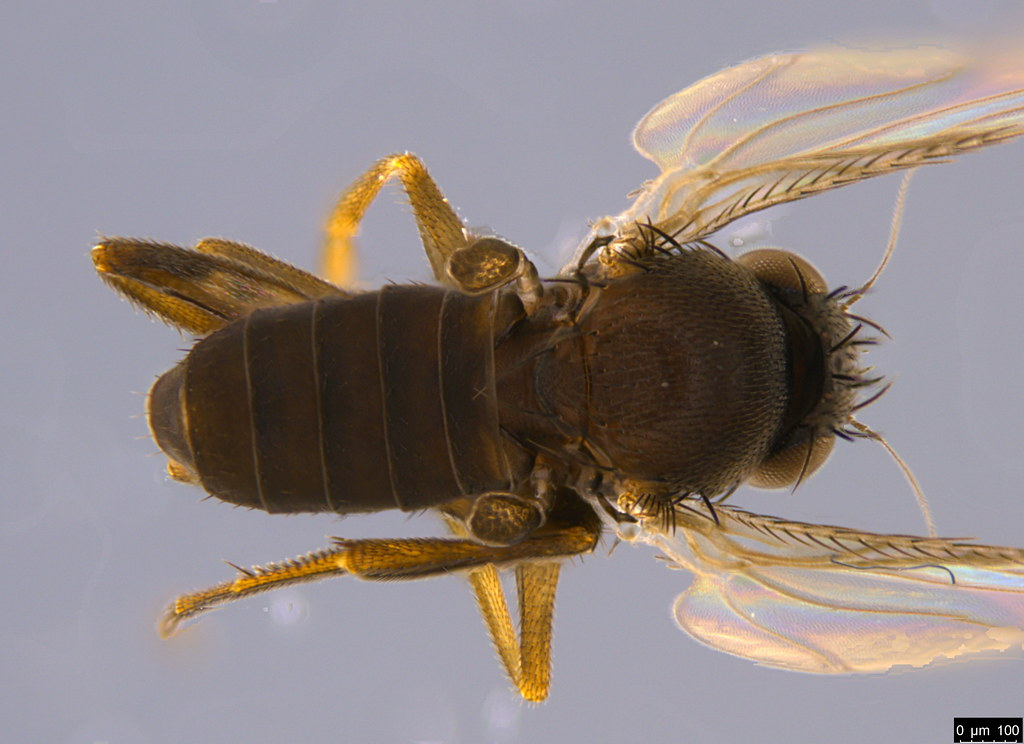 5c - Phoridae sp.