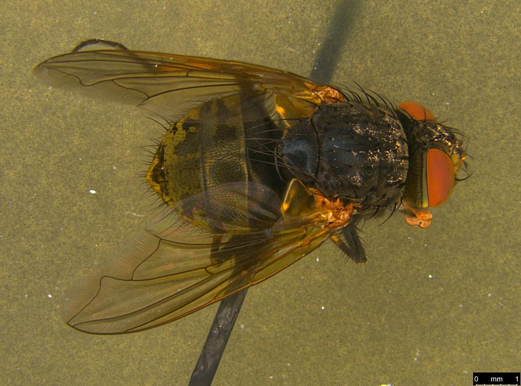 6a - Tachinidae sp.