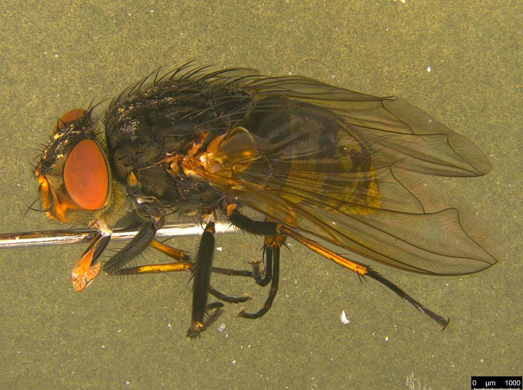 6b - Tachinidae sp.