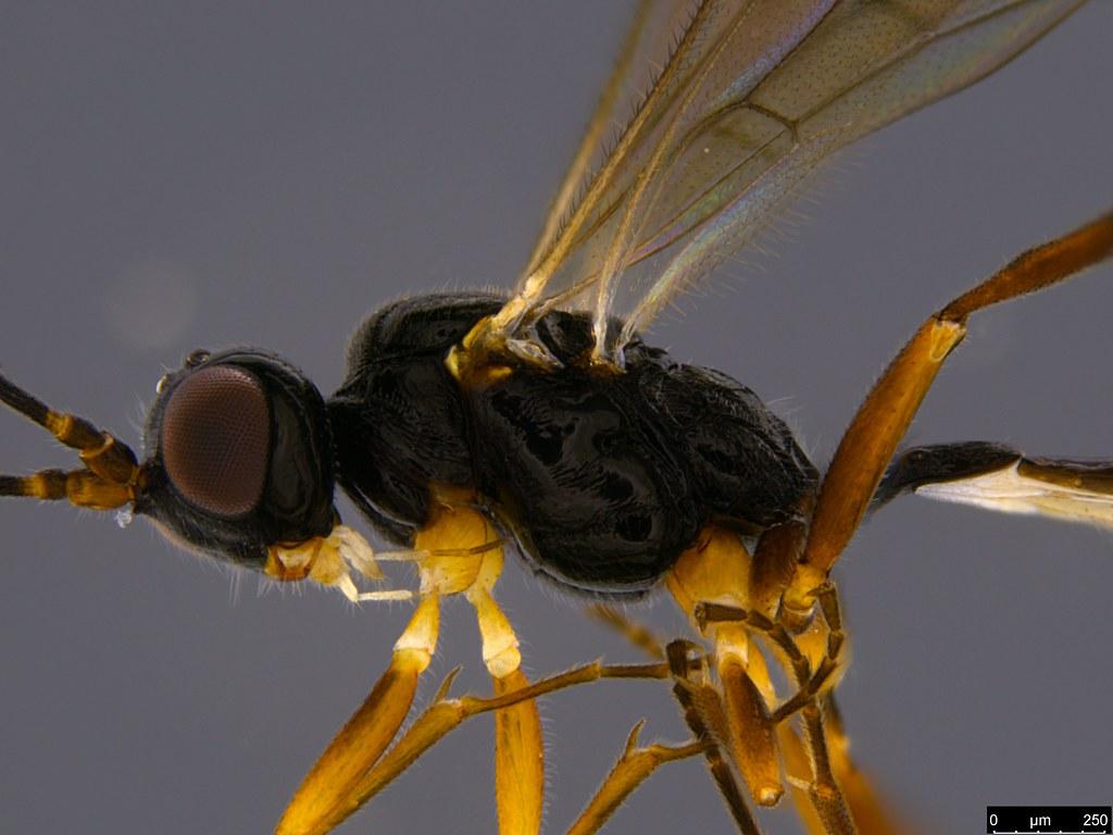 11a - Braconidae sp.
