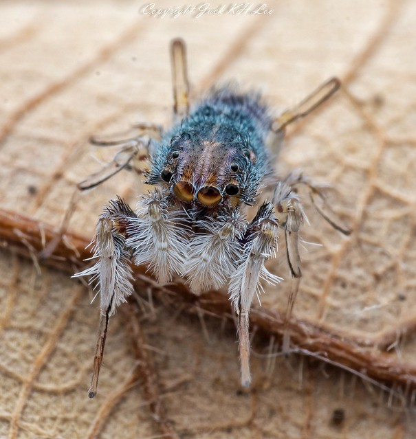 Neobrettus tibialis spider