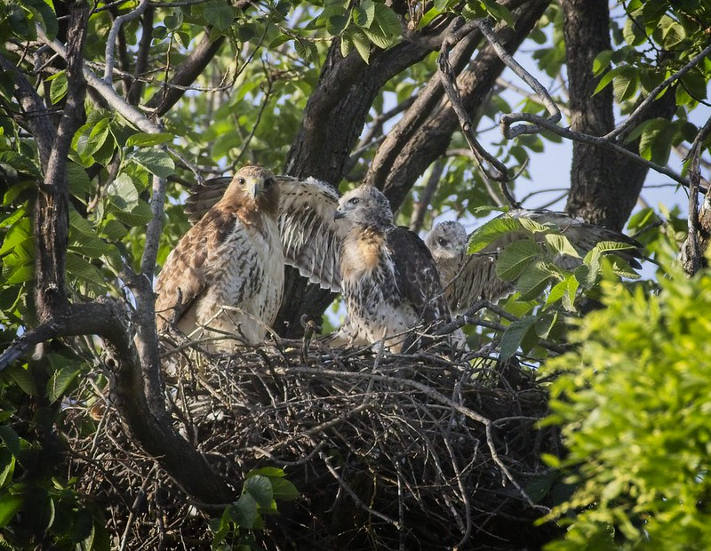 Tompkins Square red-tail nestlings