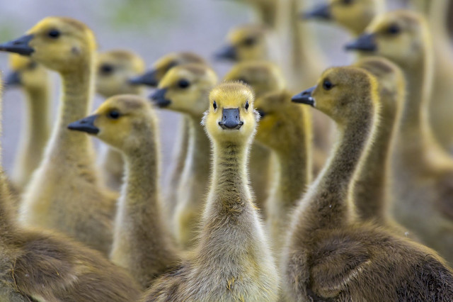 A Standout From the Crowd   Canada Goose Gosling