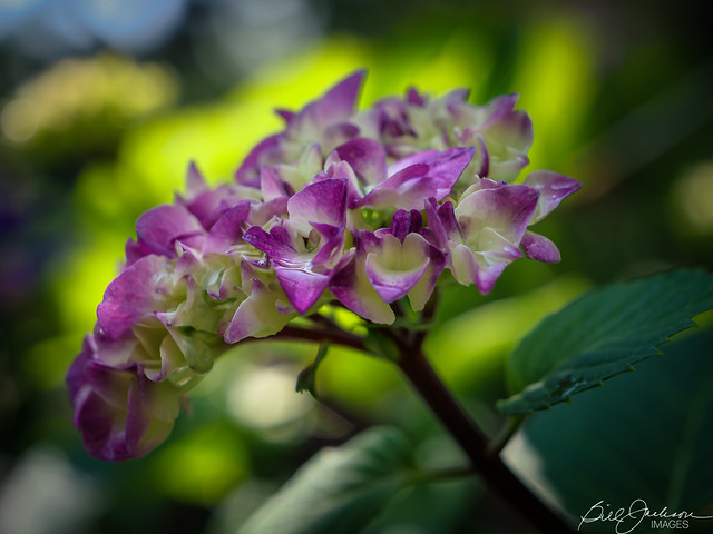 Colorful Hydrangea after the rain.