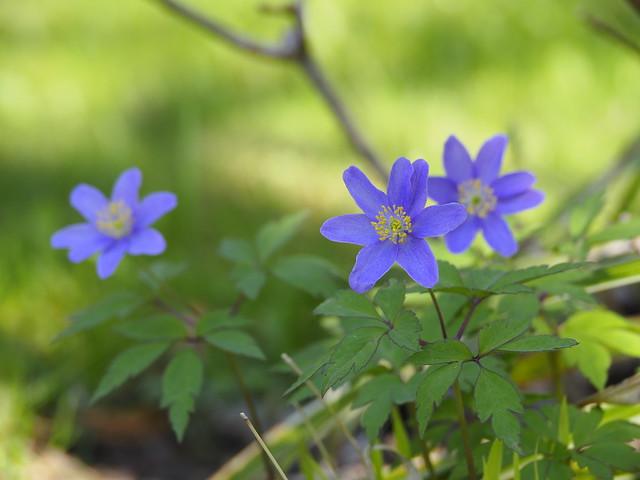 Anemone nemorosa 'Mart's Blue'