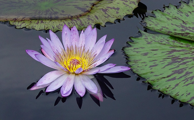 Water Lily aka Nymphaea at Longwood Gardens in Kennett Square, PA