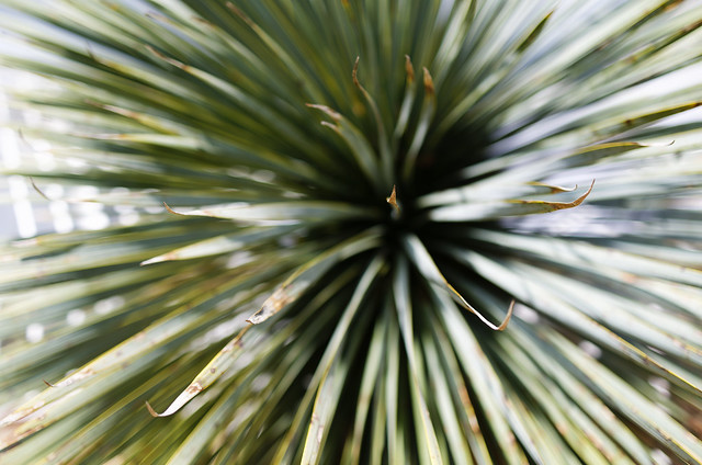 exploding yucca