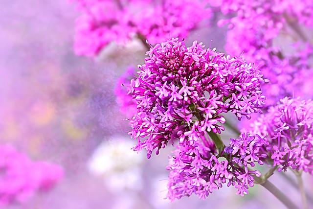 Valerian Flower in the garden