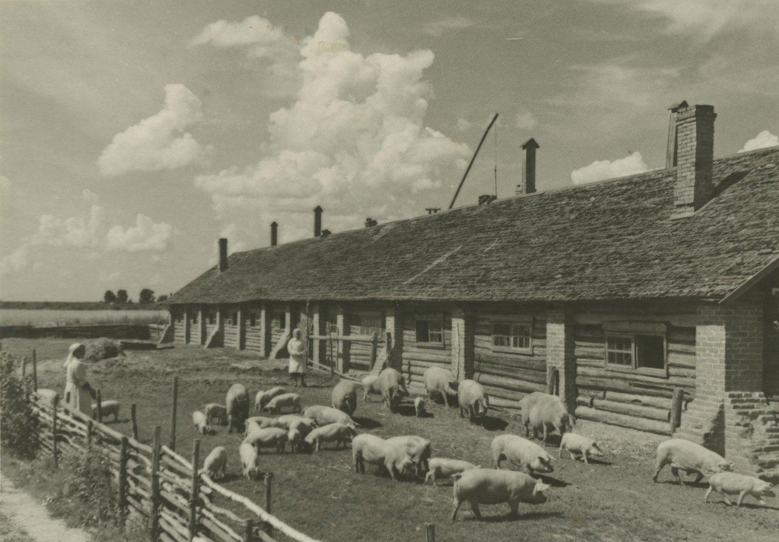 1949. Свиноферма