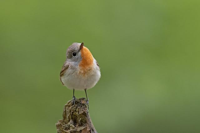 Zwergschnäpper / Red-breasted flycatcher / Ficedula parva
