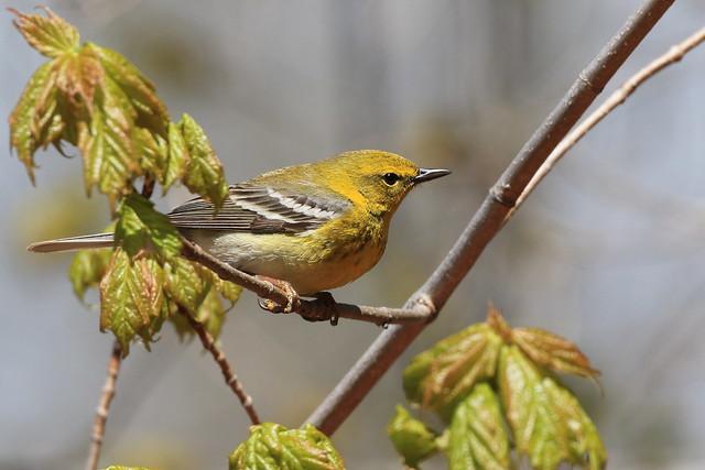 Pine Warbler / Paruline des pins ( Diane )