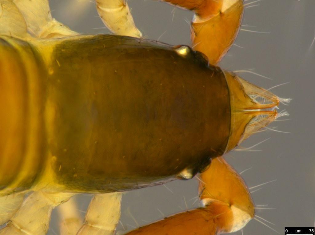 18b - Protogaripinus sp.