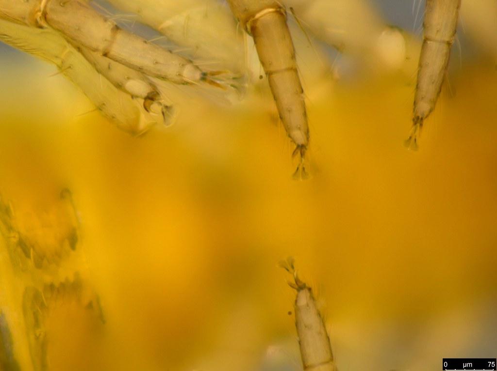 18i - Protogaripinus sp.