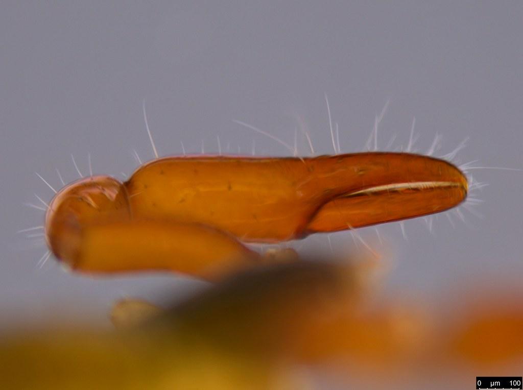 18k - Protogaripinus sp.