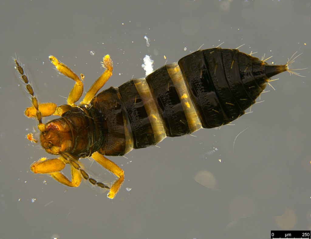23a - Thysanoptera sp.