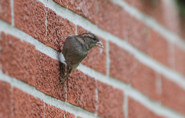 Sparrow on a brick wall - Michigan, USA, 2021