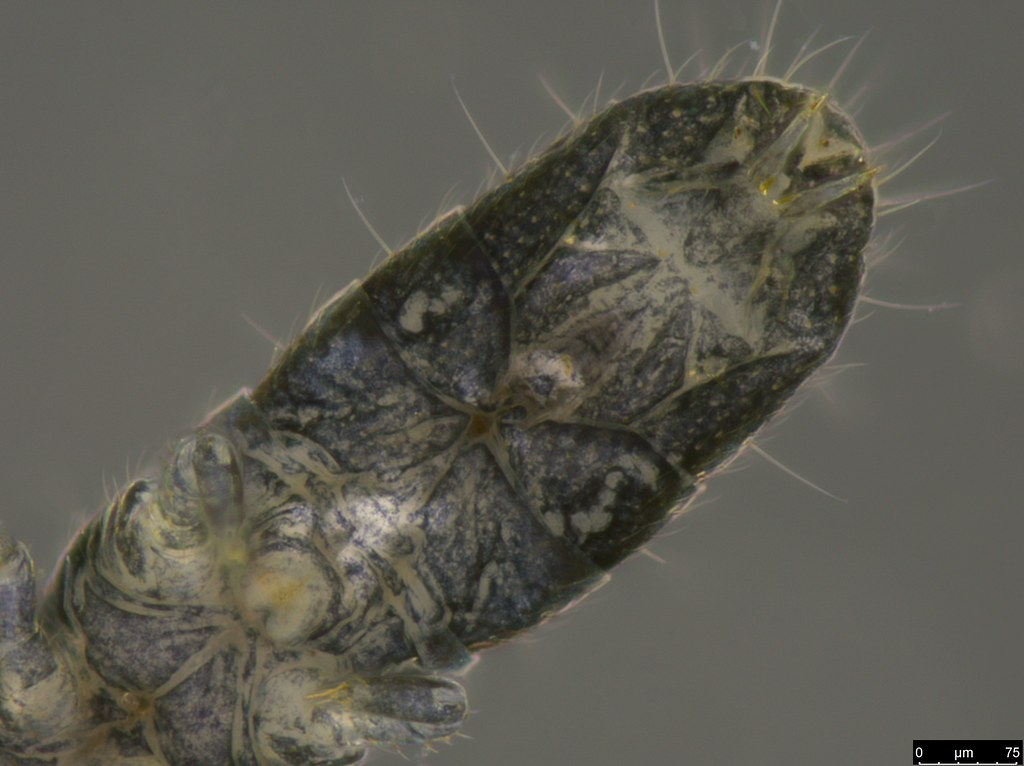 21d - Isotomidae sp.