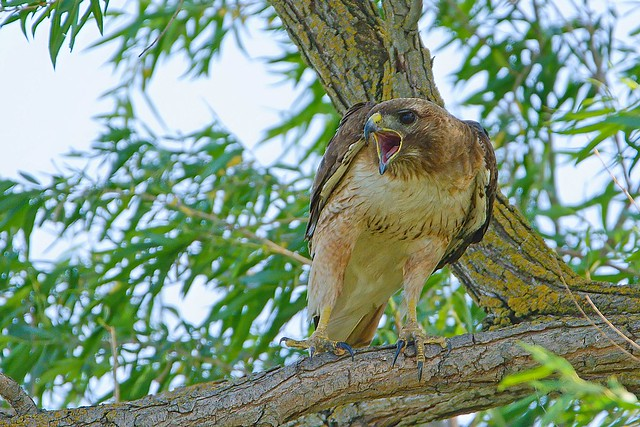 Screaming Red-tailed Hawk