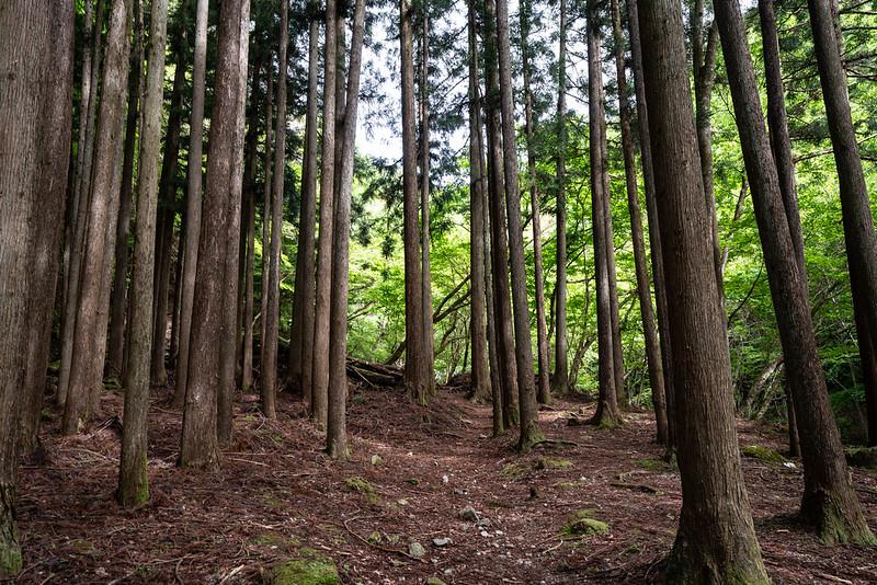 杉林の樹林帯