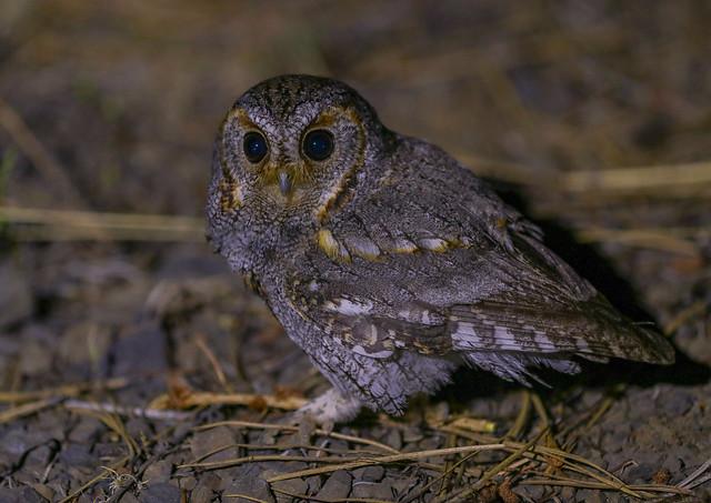 Flammulated Owl 8R1A9176