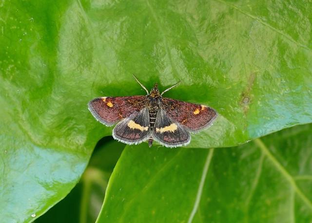 Mint Moth --- Pyrausta aurata