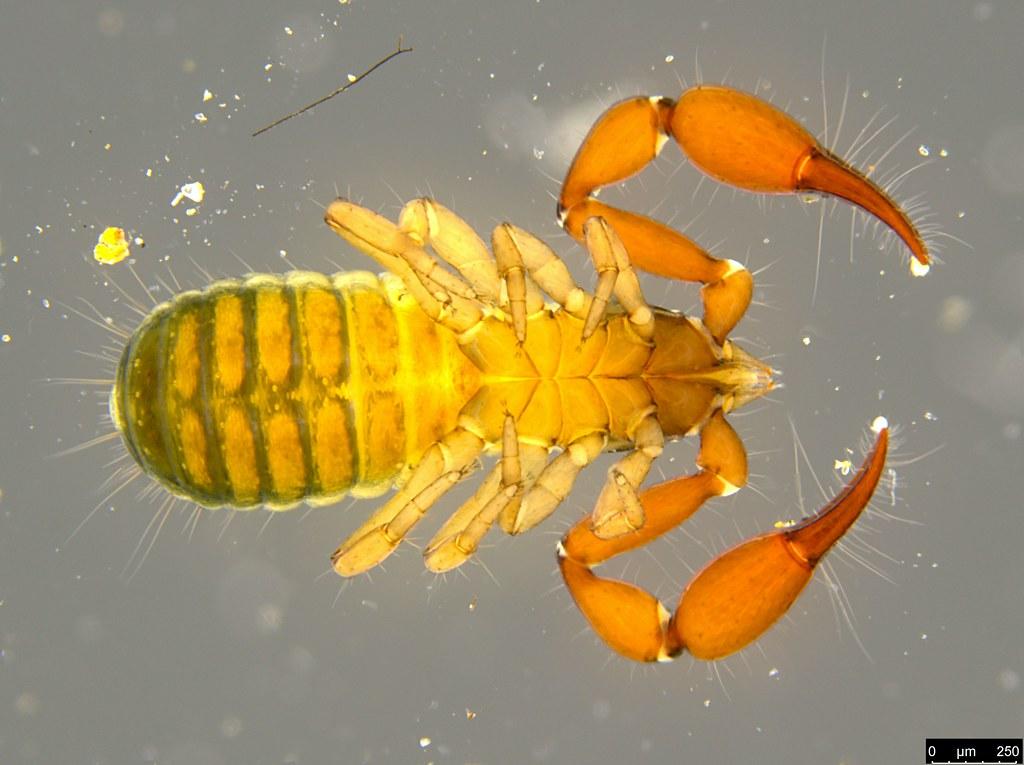 18f - Protogaripinus sp.