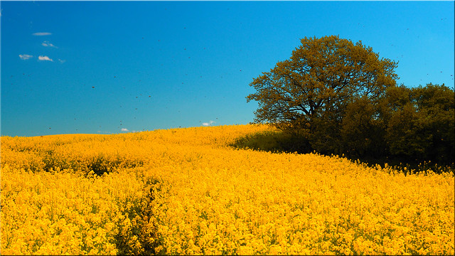 Rapeseed in bloom in Holstein with bees
