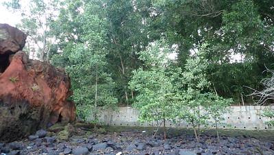 Mangrove settling naturally on artificial wall, Changi May 2021