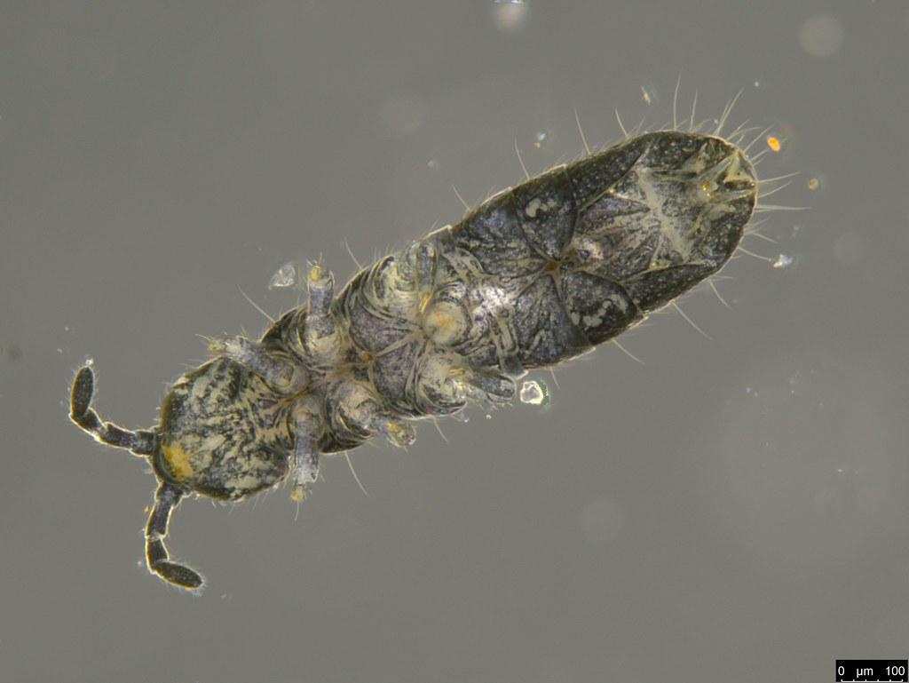 21c - Isotomidae sp.