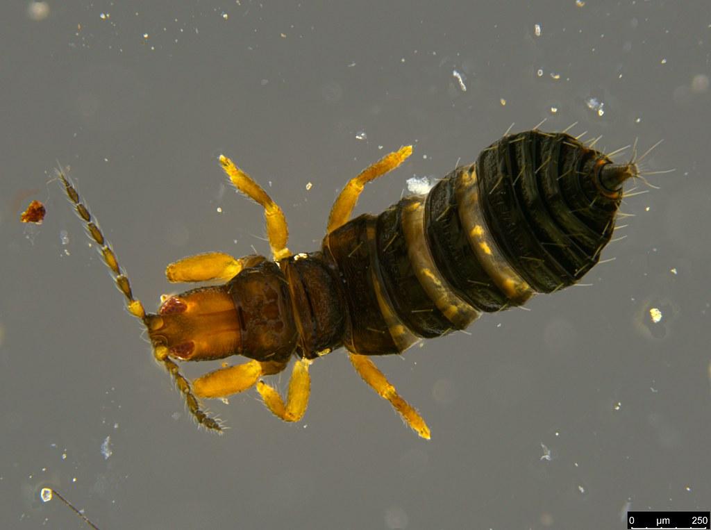 23b - Thysanoptera sp.