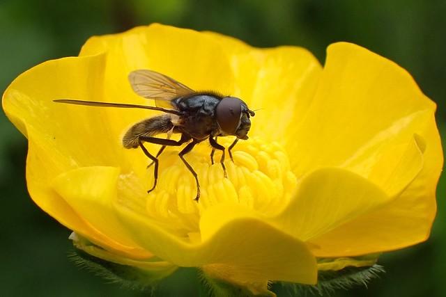 Cheilosia albitarsis agg