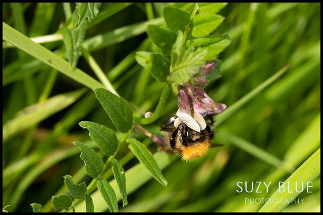 Bumblebee on Vetch