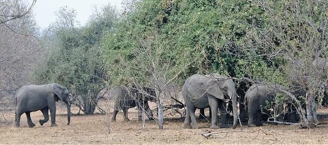 Elephant herd hunting for shade - Botswana