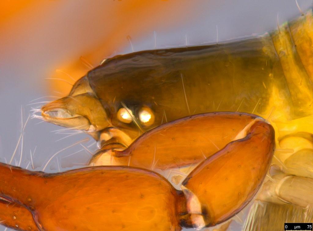 18e - Protogaripinus sp.