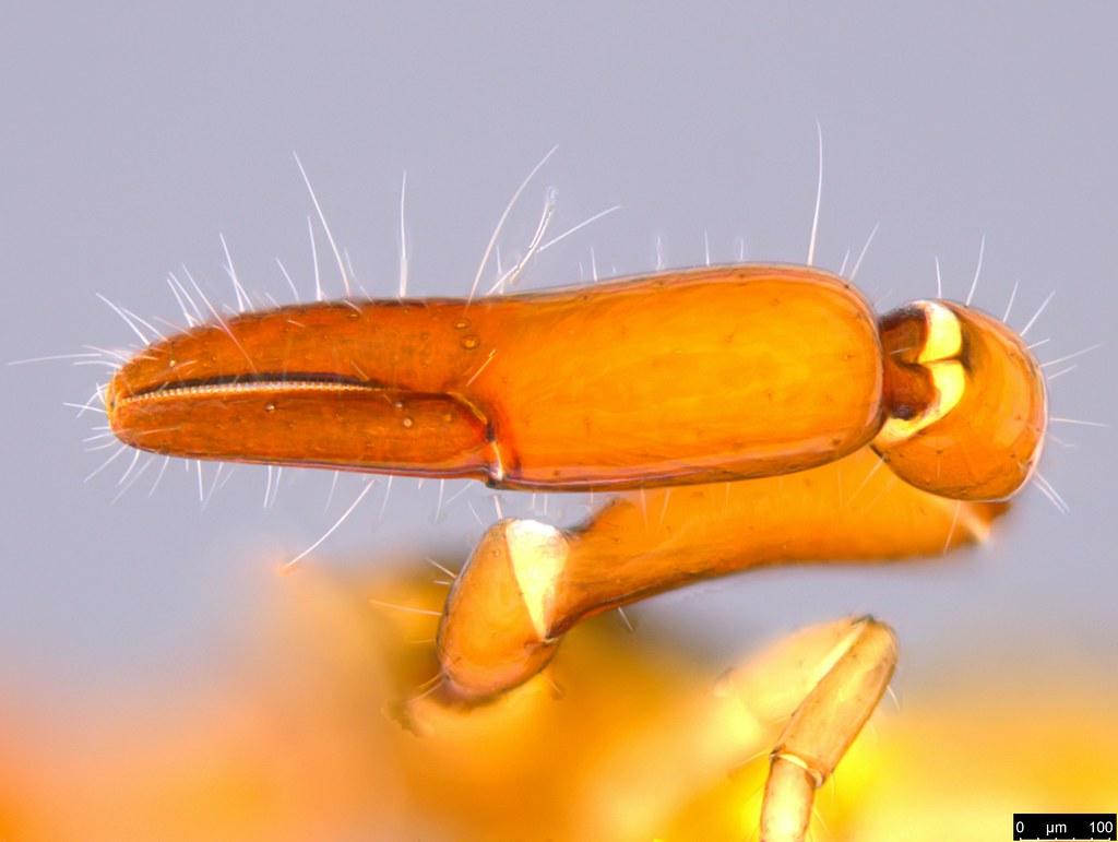 18j - Protogaripinus sp.