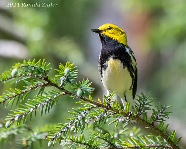 Black-throated Green Warbler IMG_8444