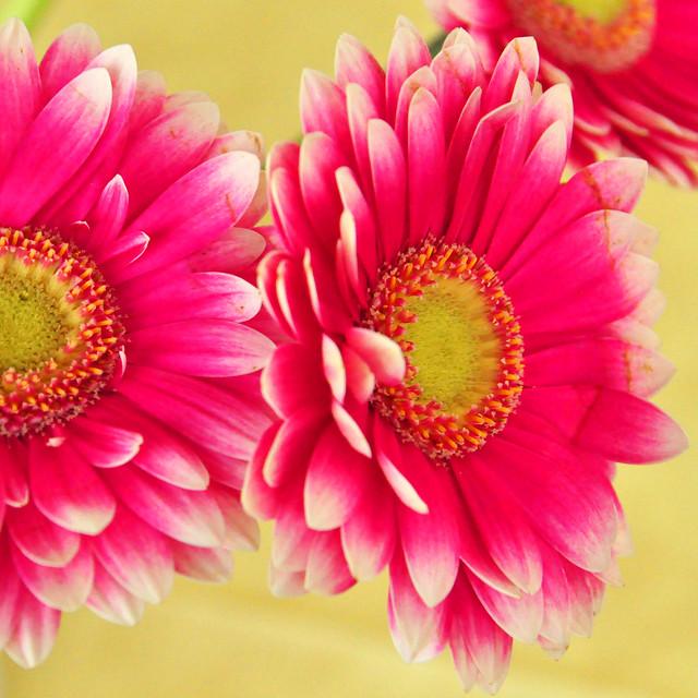 Mai 2021 ... Rote Gerbera in der Vase ... Brigitte Stolle