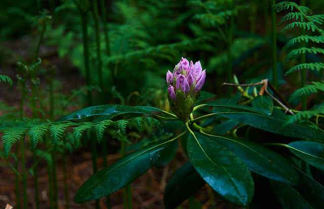 Rhododendron - play of colors