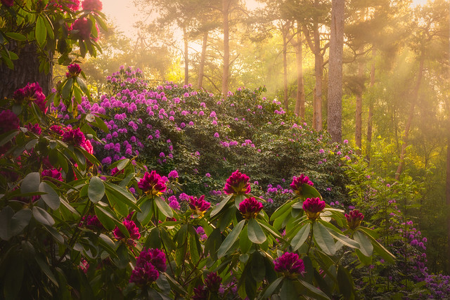 Rhododendron Valley